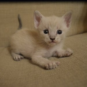 Тайская кошка - котенок