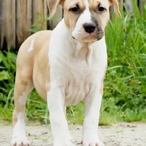 Американский стаффордширский терьер - щенок