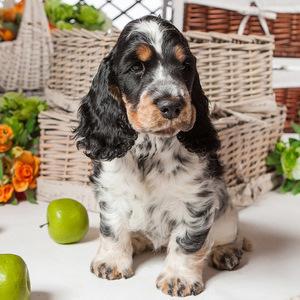 Английский кокер-спаниель - щенок