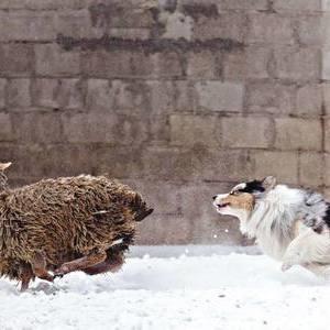 Австралийская овчарка - фото