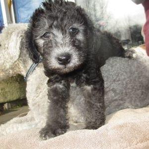 Бедлингтон терьер - щенок
