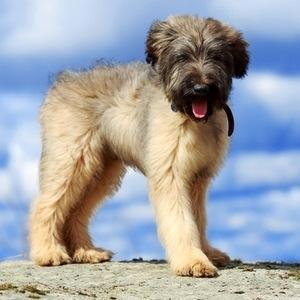 Бриар - щенок