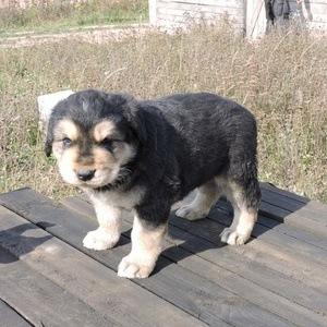 Бурят-монгольский волкодав - щенок