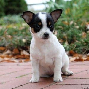 Чихуахуа - щенок