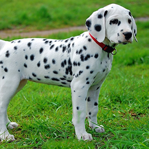 Далматин - щенок