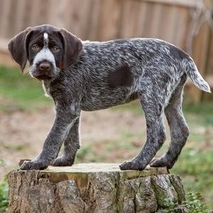 Дратхаар - щенок