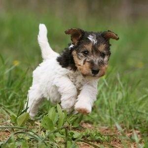 Фокстерьер - щенок