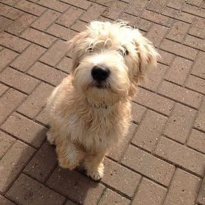 Ирландский пшеничный терьер - щенок