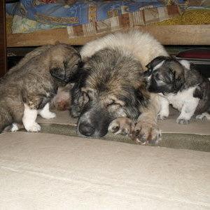 Кавказская овчарка - щенок