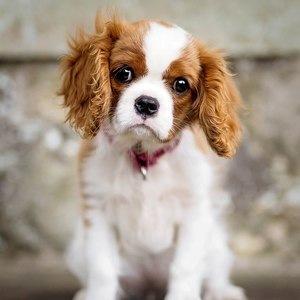 Кинг-чарльз-спаниель - щенок