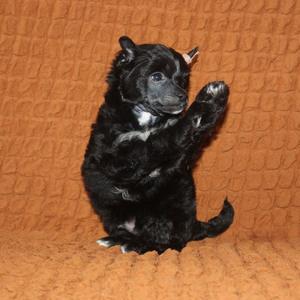 Китайская хохлатая собака - щенок