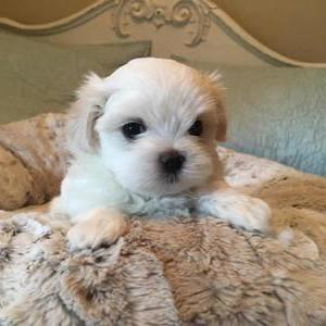 Мальтийская болонка (мальтезе) - щенок
