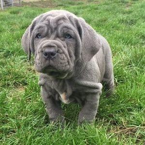 Неаполитанский мастиф (мастино неаполитано) - щенок