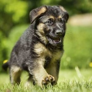 Немецкая овчарка - щенок