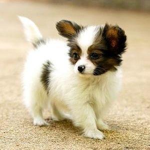 Папийон (папильон, континентальный той-спаниель) - щенок