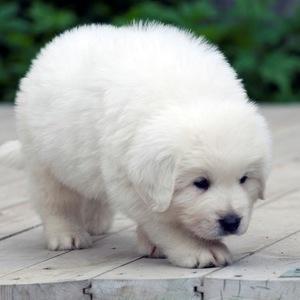 Польская подгалянская овчарка - щенок