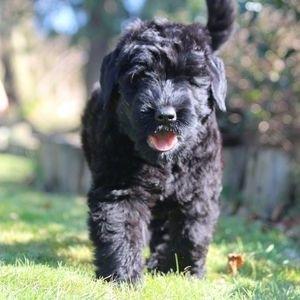 Русский черный терьер - щенок