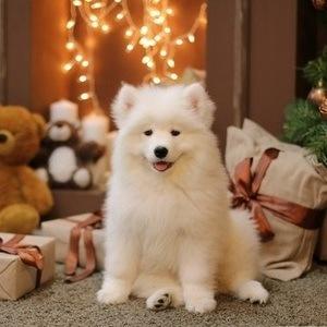 Самоедская собака - фото