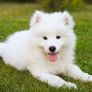Самоедская собака - щенок