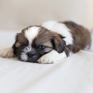 Ши-тцу - щенок