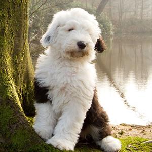 Староанглийская овчарка - щенок